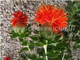 草红花,草红花药材,草红花种植